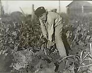 Восьмилетний мальчик, собирающий свеклу, октябрь 1915