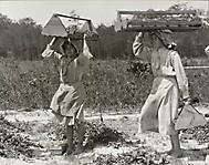 Энн и Энденито несут ягоды с поля в амбар, май 1910
